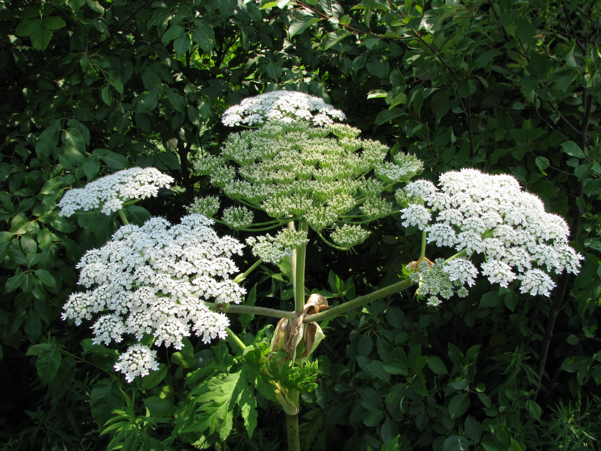 Giant Hogweed in full bloom