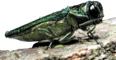Emerald Ash Borer - Photo courtesy of David Cappaert, Michigan State University